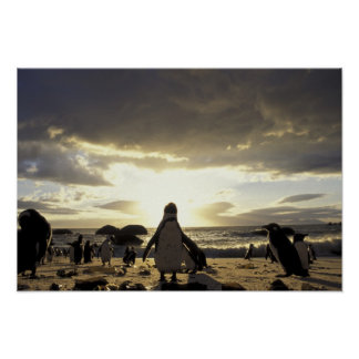 アフリカ、南アフリカ共和国の黒足のペンギン ポスター