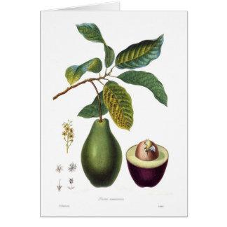 アボカド(アメリカPersea) カード