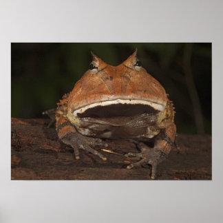 アマゾン角状のカエルのCeratophrysのcornuta)。 ポスター