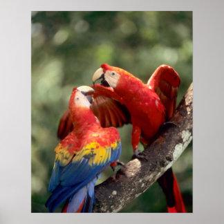 アマゾン、ブラジル。 組の深紅のコンゴウインコ(Ara ポスター
