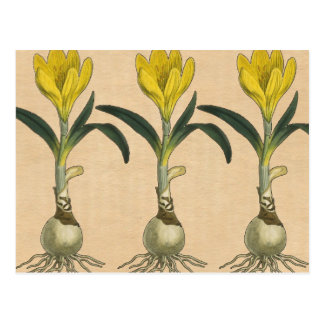 アマリリスの植物のヴィンテージの庭のプリント ポストカード