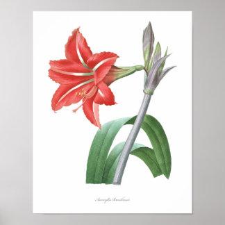 アマリリスの良質の植物のプリント ポスター