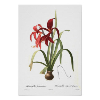 アマリリスのformosissima ポスター