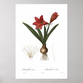 アマリリスのreginae ポスター