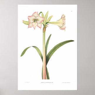 アマリリスのsolandriflora ポスター