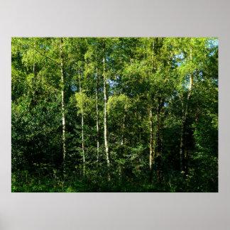 アメリカシラカンバの木 ポスター