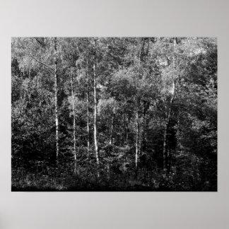 アメリカシラカンバの木- B&W ポスター