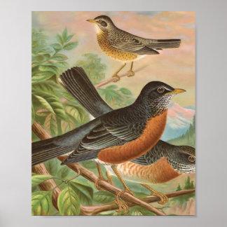 アメリカ人のロビンのヴィンテージの鳥のイラストレーション ポスター