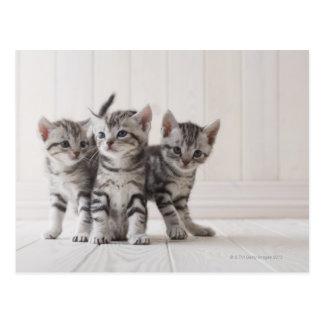 アメリカ人のShorthairの3匹の子ネコ ポストカード