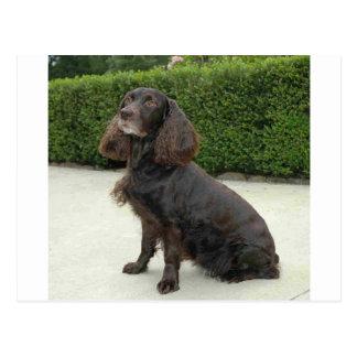 アメリカ水スパニエル犬犬 ポストカード
