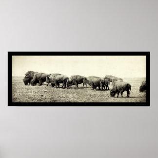 アメリカ野牛のバッファローの写真1906年 プリント