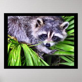 アライグマの野性生物の写真撮影 ポスター