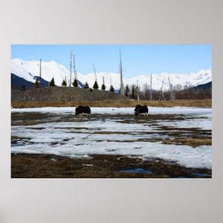 アラスカのジャコウウシ ポスター