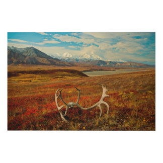 アラスカのツンドラのカリブーの(雄ジカの)枝角 ウッドウォールアート