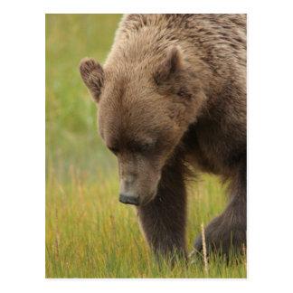 アラスカの沿岸ヒグマ ポストカード