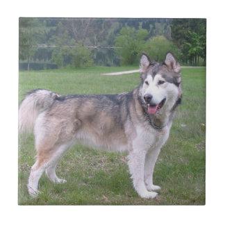 アラスカンマラミュート犬のタイル 正方形タイル小