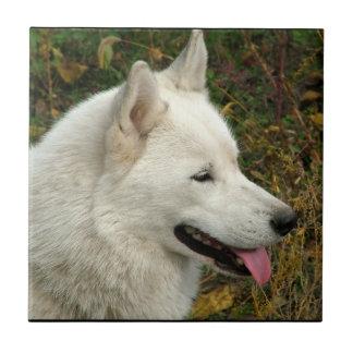 アラスカンマラミュート犬の写真 正方形タイル小