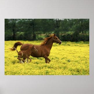アラビアの子馬およびロバのランニング ポスター