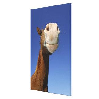 アラビアの馬、ババリア、ドイツ キャンバスプリント