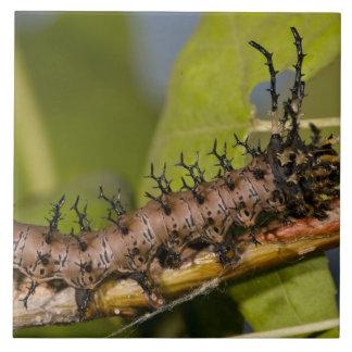 アリゾナの角状の悪魔の幼虫、Citheronia タイル