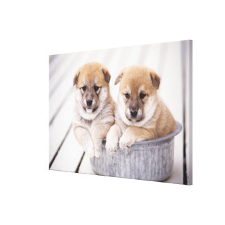 アルミニウムたらいの柴犬の子犬 キャンバスプリント