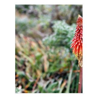 アロエの花 ポストカード