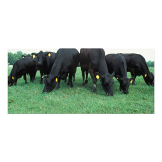 アンガスの牛 ラックカード