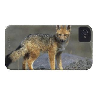 アンデス山脈のキツネ、(Dusicyonのculpaeus)、Paramo Cotopaxi Case-Mate iPhone 4 ケース