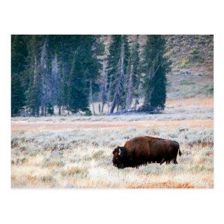 イエローストーン国立公園のアメリカ野牛 ポストカード
