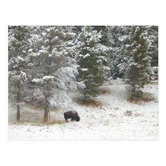 イエローストーン国立公園のバッファロー ポストカード