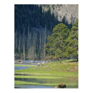 イエローストーン国立公園の子牛が付いているバイソン ポストカード