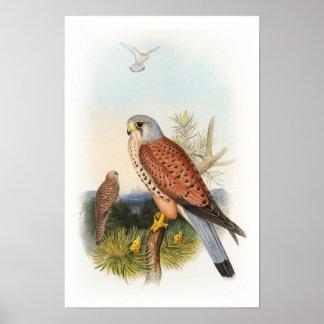 イギリスのKestrelの《鳥》ハヤブサのジョンGouldの鳥 ポスター