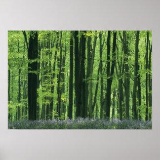 イギリス、ブナの森林及びBluebells ポスター