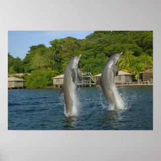 イルカ、Roatan跳んでいるの湾の島は、 ポスター