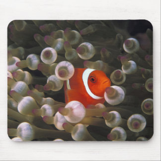 インドネシア、Komodo。 あずき色のclownfish、または マウスパッド