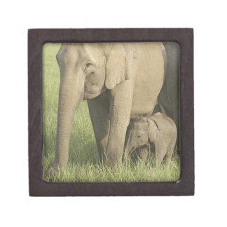 インド/アジアゾウおよび若者1、Corbett ギフトボックス