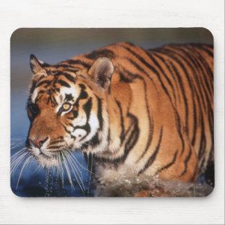 インド、ベンガルトラ(ヒョウ属チグリス川) 2 マウスパッド
