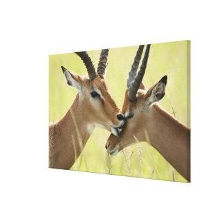 インパラ、マサイ族マラのAepycerosのmelampus、 キャンバスプリント