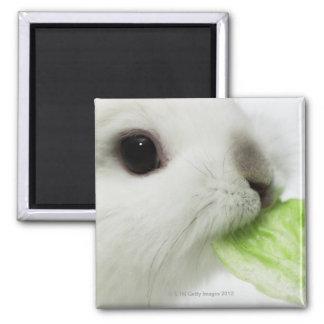 ウサギのかじるレタスの葉、クローズアップ マグネット