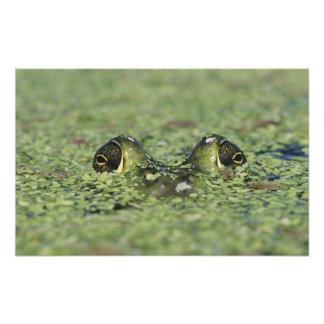ウシガエル、ラナのcatesbeiana、duckweedの大人 フォトプリント