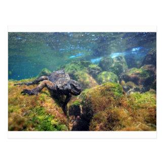 ウミイグアナの水中ガラパゴス諸島 ポストカード