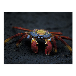 エクアドルのガラパゴス諸島、サリーLightfoot ポストカード