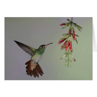 エクアドルのTandayapaの鳥ロッジ。 Rufous後につかれる カード