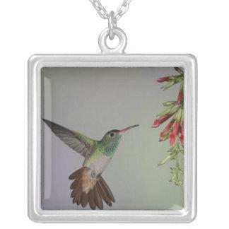 エクアドルのTandayapaの鳥ロッジ。 Rufous後につかれる シルバープレートネックレス