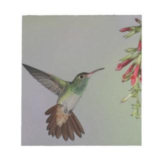エクアドルのTandayapaの鳥ロッジ。 Rufous後につかれる ノートパッド