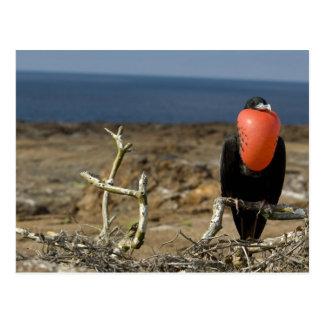 エクアドル、ガラパゴスのGenovesaの島。 王子 ポストカード
