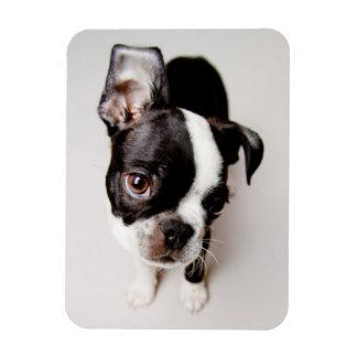 エジソンボストンテリアの子犬 マグネット