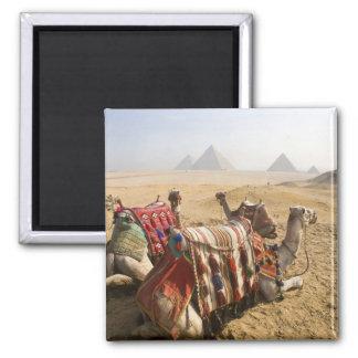 エジプト、カイロ。 を渡る休息のラクダの熟視 マグネット