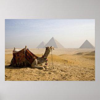 エジプト、カイロ。 単独ラクダはを渡って熟視します ポスター