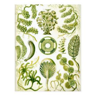 エルンスト・ヘッケルのSiphoneaeの海藻および藻 ポストカード